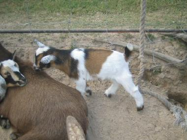 At What Age Can Goat Kids Be Separated From Does