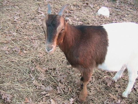 goatsforkids2